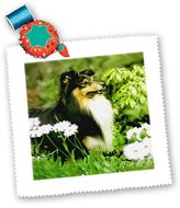 3dRose LLC qs_668_1 Dogs Sheltie/Shetland Sheepdog - Sheltie - Quilt Squares