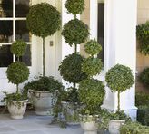 Pottery Barn Live Ivy Ball Topiary on Stem