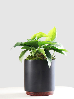 Leon & George Small Jade Pothos with Mid-Century Ceramic Pot and Wood Plinth