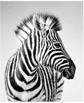 Pottery Barn Zebra Profile Unframed Acrylic Print