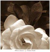 Gardenia Poster Revolution (27x27) Rebecca Swanson Garden Art Print Poster