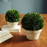 Boxwood Round Trees