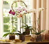 Pottery Barn Live Phalaenopsis Orchid In Glass Vase