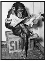 Chimpanzee Reading Newspaper by Bettmann (Framed)