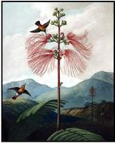 Museums. Co Large Flowering Sensitive Plant by Robert John Thornton (Framed)