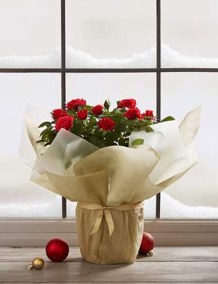 Marks and Spencer Large Christmas Red Rose (Available for delivery from 15th November 2019)