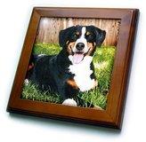 3dRose LLC ft_240_1 Dogs Appenzeller Mountain Dog - Appenzeller Mountain Dog - Framed Tiles