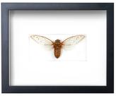 Imperial Cicada by Christopher Marley (Shadow Box Frame)