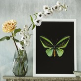 Graham and Green Butterfly Print - Ornithoptera Priamus