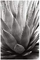 Pottery Barn Agave Framed Print by Alicia Bock