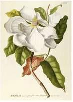 The Dybdahl Co. Magnolia. Plantae Print