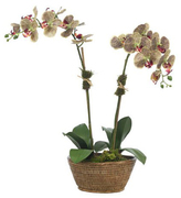 Moth Orchid in Rattan Basket