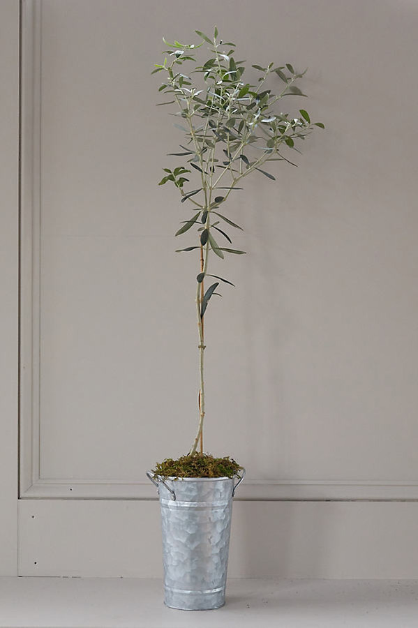 Arbequina Olive Tree, Galvanized Pot By Terrain in Assorted