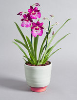 Marks and Spencer Miltonia Orchid