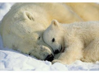 Mural Brewster WallPops! National Geographic Polar Bears Ivory