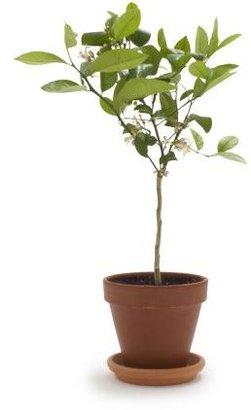 Meyer Lemon Patio Tree
