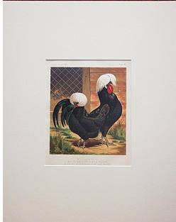 Intaglio Antique Prints and Maps White-Crested Black Polish Chickens