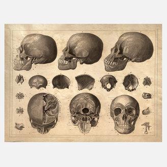 Curious Prints Anatomy Head Print II