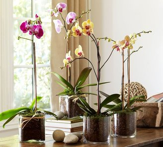 Pottery Barn A Year of Live Orchids