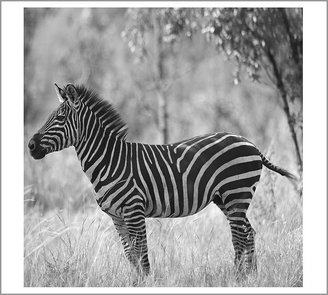 Pottery Barn Zebra Framed Print by Michal Venera